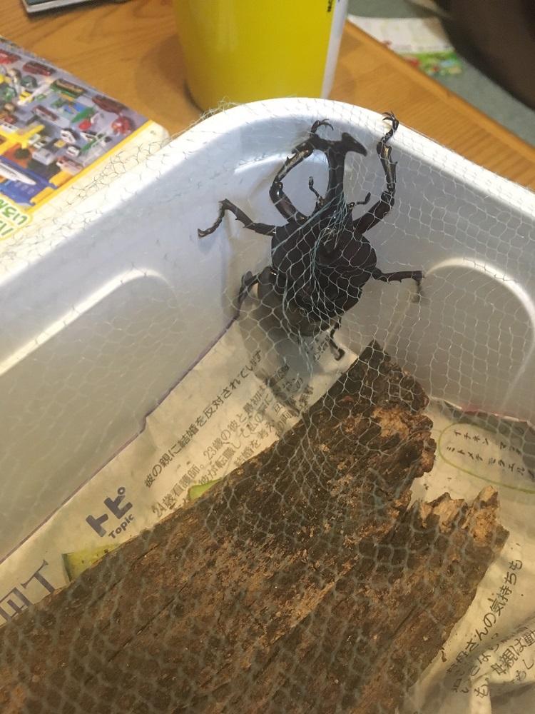 手作りのカブトムシ飼育セット