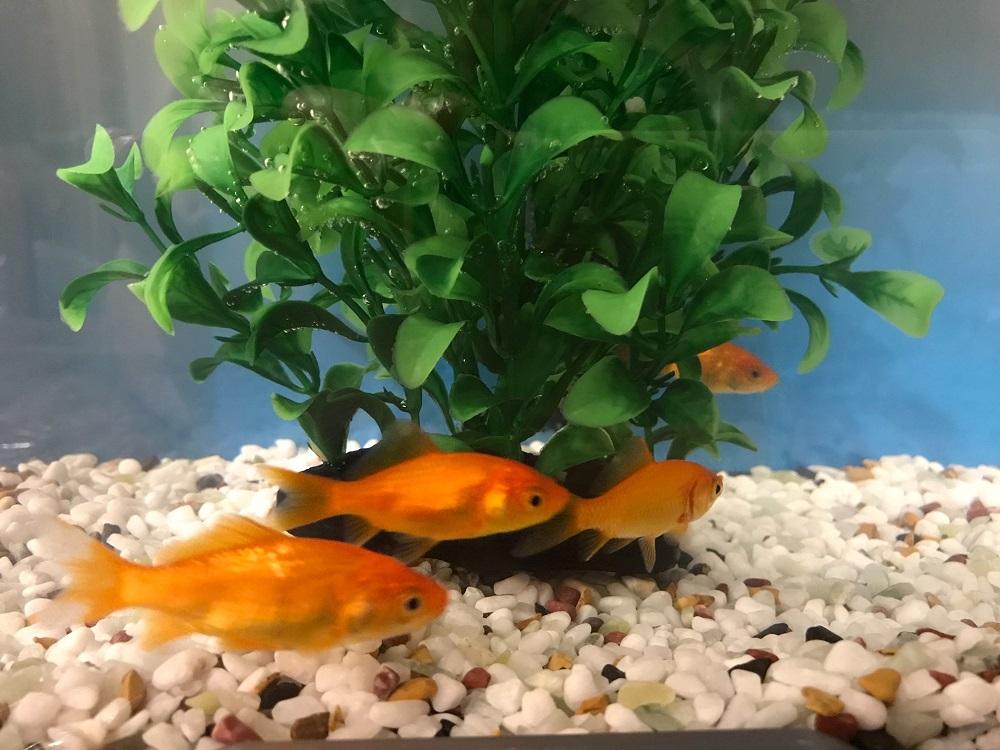 水槽で泳ぐ金魚