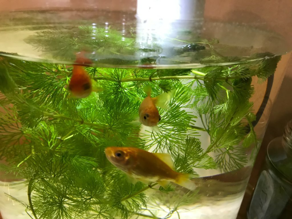 金魚はなつく。かわいい